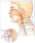 De anatomie van het het strottenhoofd