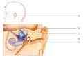 Vooraanzicht van de anatomie van het oor